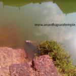 "Latest Photo of Divine Crocodile ""Babiya"""